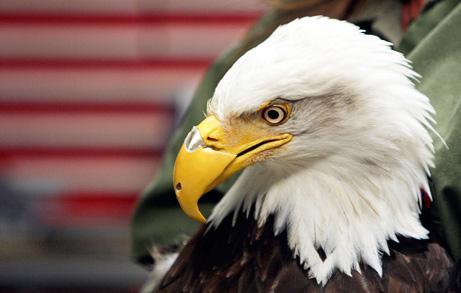 Покалеченный белоголовый орлан получил новый клюв, отпечатанный на 3D принтере